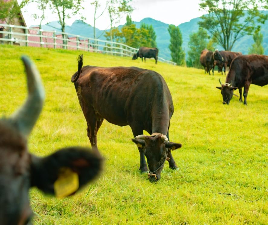 複数の但馬牛